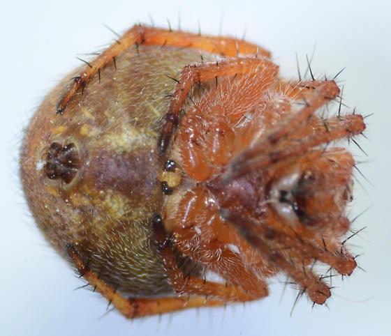 orb - Araneus bispinosus - female
