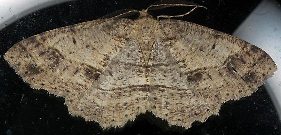 Melanolophia Moth  ? - Melanolophia signataria