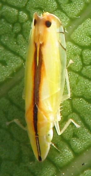 ? planthopper ? - Sophonia orientalis