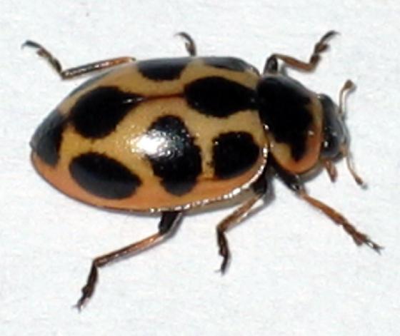Lady Beetle - Naemia seriata