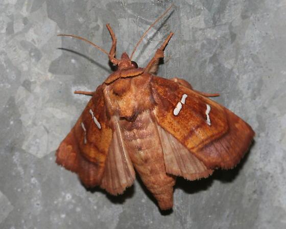 Chain Fern Borer Moth - Papaipema stenocelis - Papaipema stenocelis