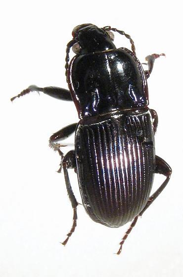 Myas coracinus
