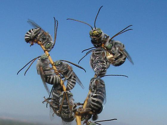long-horned bees - Svastra duplocincta - male