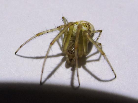 Unknown Spider - Metellina segmentata