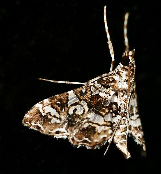 Texas SE Gulf Coast - Sisyracera inabsconsalis