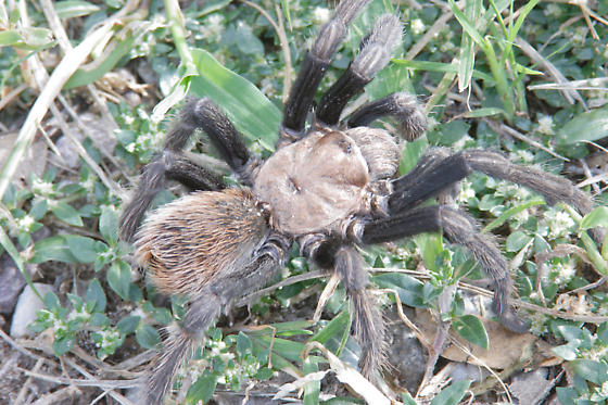 Brown Tarantula Medium