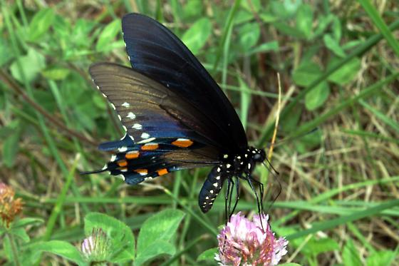Pipevine Swallowtail For Illinois In August - Battus philenor - male