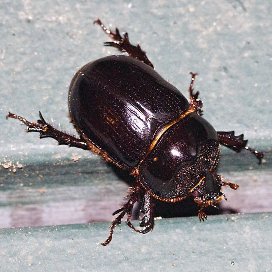 Unidentified Beetle - Xyloryctes thestalus