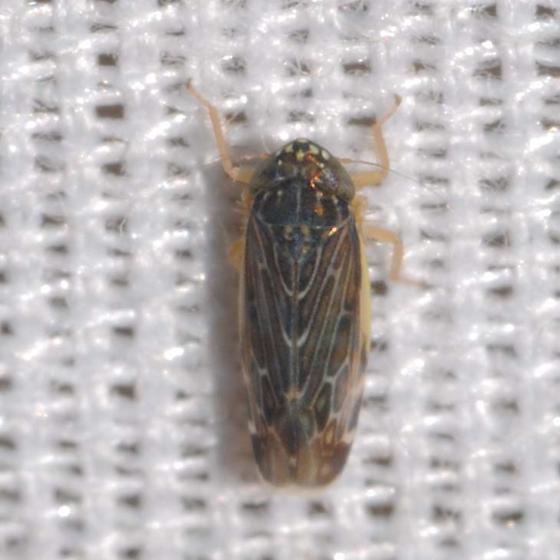 Leafhopper - Planicephalus flavicosta