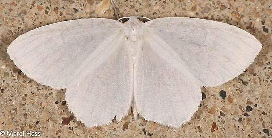 Eugonobapta nivosaria