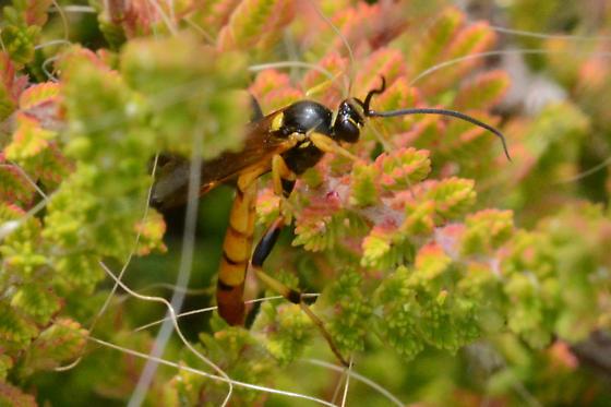 Yellow orange wasp? - male