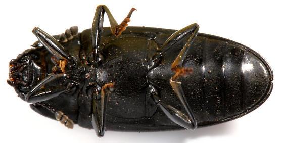 Pleasing Fungus Beetle - Megalodacne fasciata