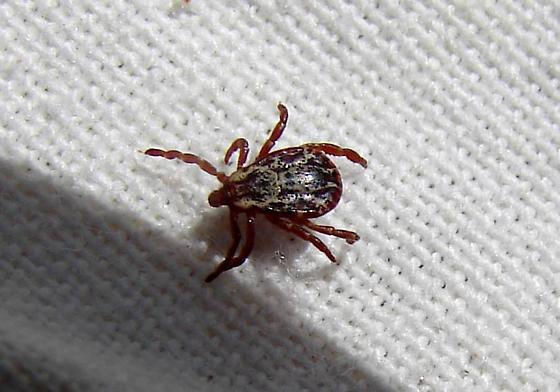Ixodidae - Dermacentor andersoni - male