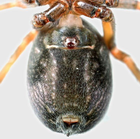 BG677 Spider - Metaltella simoni - female