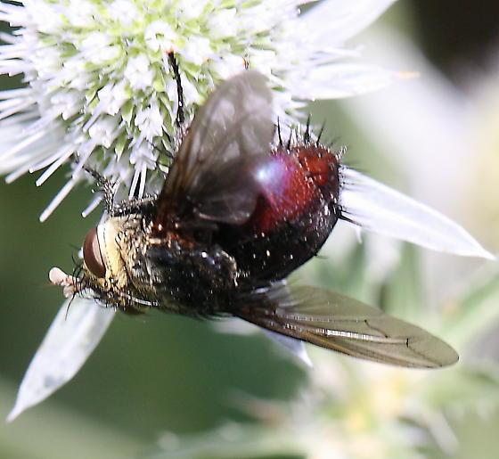 fly - Archytas metallicus