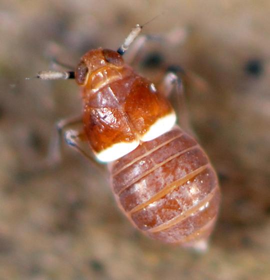 planthopper-Delphacidae - Pissonotus