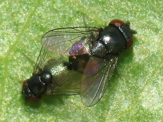 cottony cushion scale parasite? - Cryptochetum iceryae - male - female