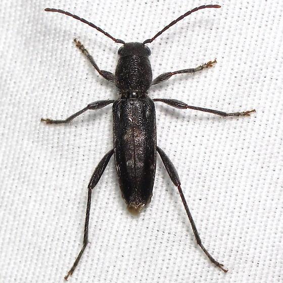 Neoclytus? - Xylotrechus sagittatus