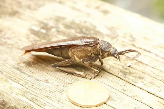?California Root Borer (Prionus californicus) - Trichocnemis spiculatus