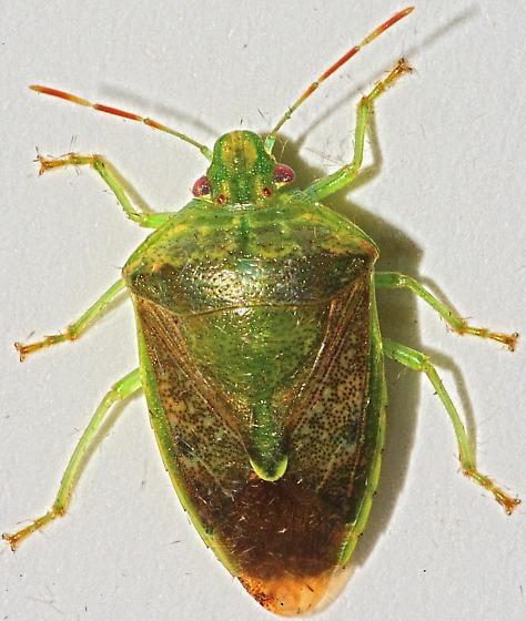 Green Shield Bug / Stink Bug - Banasa calva