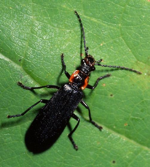 Soldier Beetle - Podabrus frater