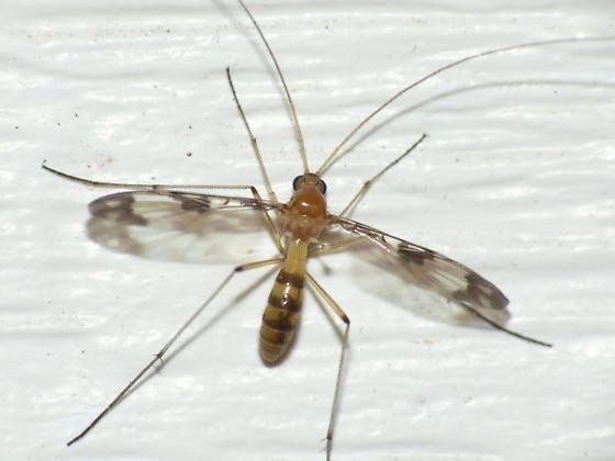 Keroplatid - Macrocera formosa