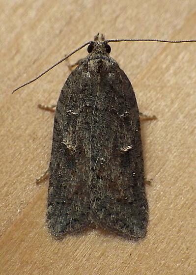 Elachistidae: Bibarrambla alenella