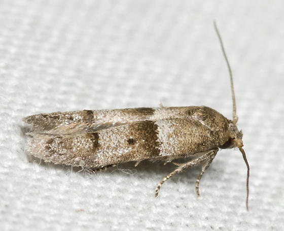 Unknown moth - male
