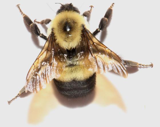 Bombus, wings spread - Bombus affinis