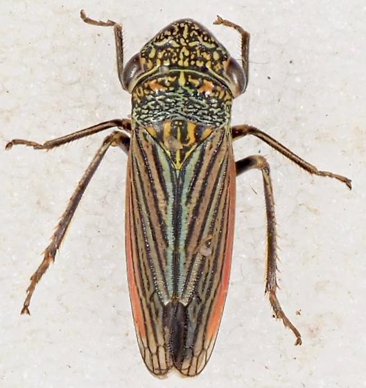 Unknown Leafhopper - Cuerna alpina
