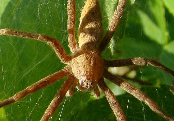 Spider ID Please - Pisaurina
