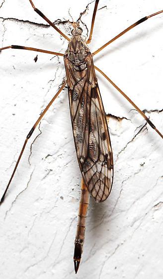 Tipula longiventris? - Tipula