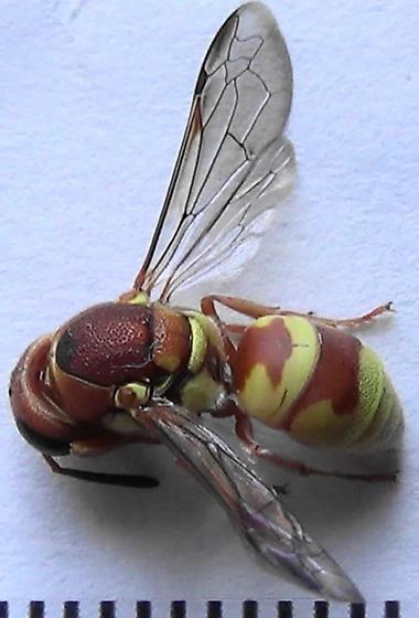 The Six Wasp Special - #6 of 6 - Euodynerus annulatus - female