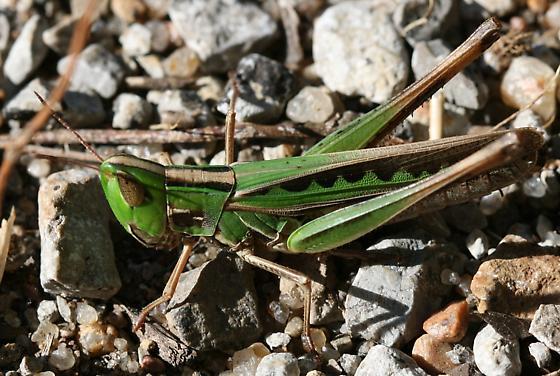 Admirable Grasshopper - Syrbula admirabilis - female