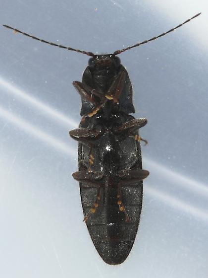 Click Beetle - Hemicrepidius hemipodus