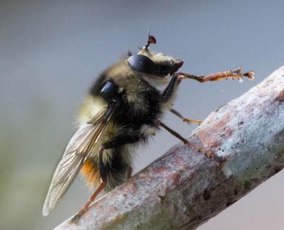 Bee mimic Fly - Criorhina bubulcus
