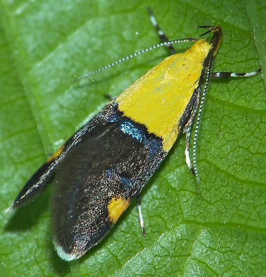 Another - Oecophora bractella