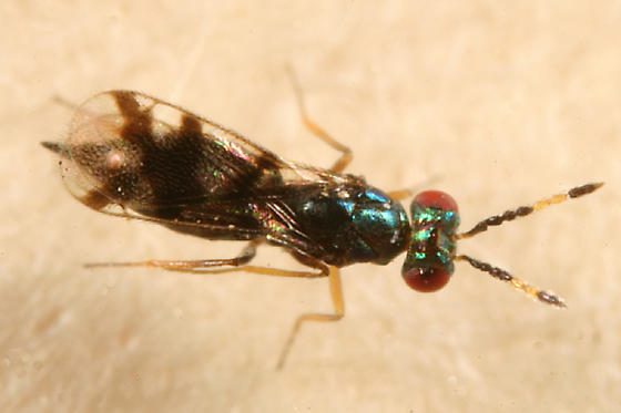 Eulophid wasp - Astichus