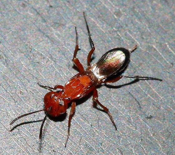 Chalcid Wasp - Arachnophaga - female