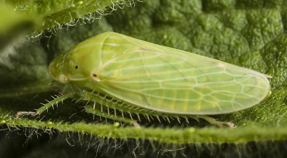 Gypona bimaculata - Gypona melanota