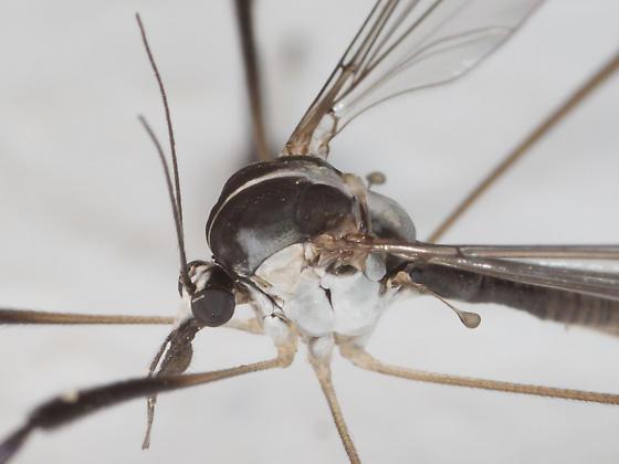 Crane Fly maybe ? - Bittacomorpha clavipes
