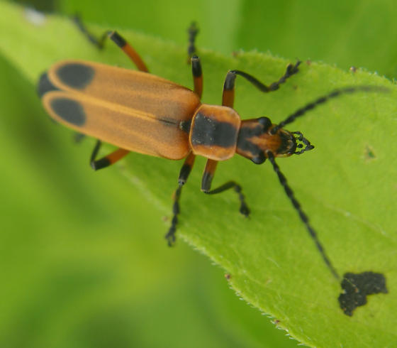 Orange beetle with black spots - Chauliognathus marginatus