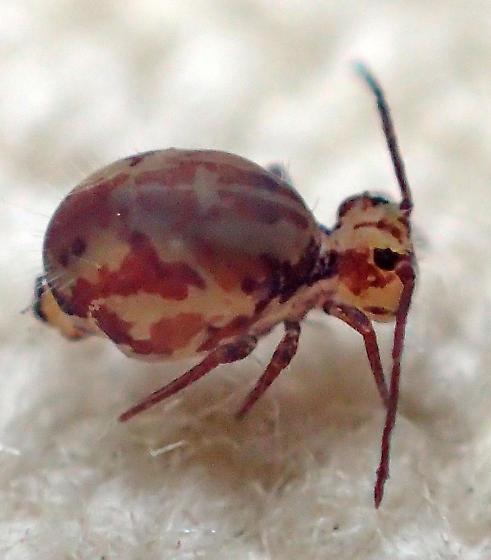 Ptenothrix? - Ptenothrix beta