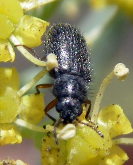 Trichochrous sp. (Dasytidae) - Asydates grandiceps