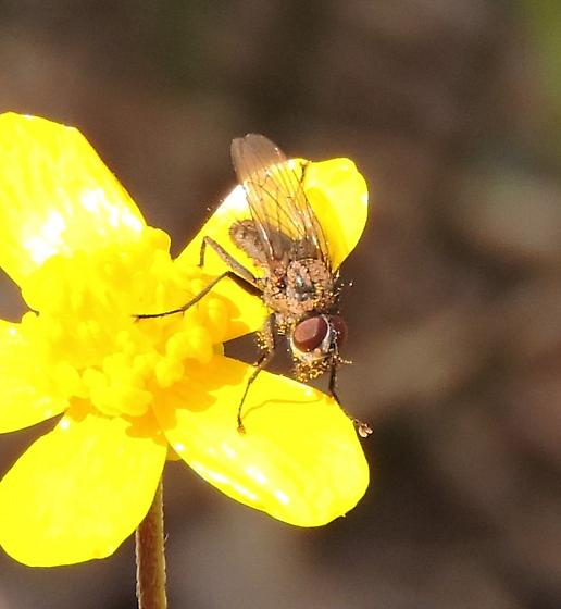 Small fly on Ranunculus