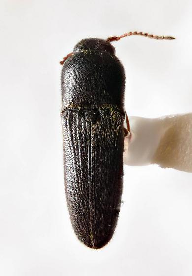 Eucnemid - Deltometopus amoenicornis - female