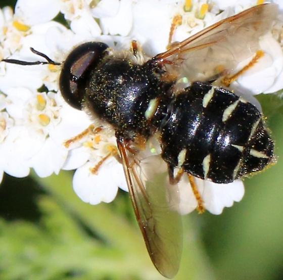 Syrphidae?  - Stratiomys badia - male