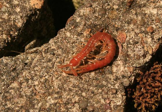 Centipede - Scolopocryptops spinicaudus