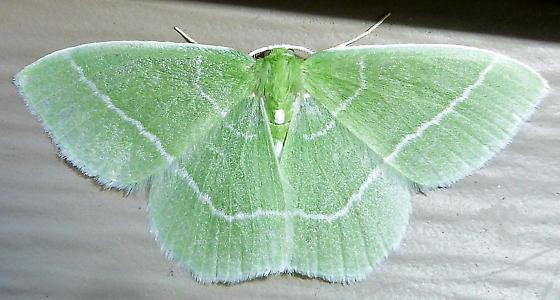 Emerald SK - Nemoria mimosaria - male