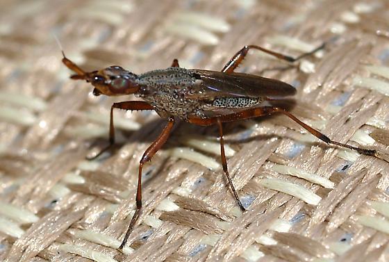 Longhorn Cactus Fly - Odontoloxozus longicornis